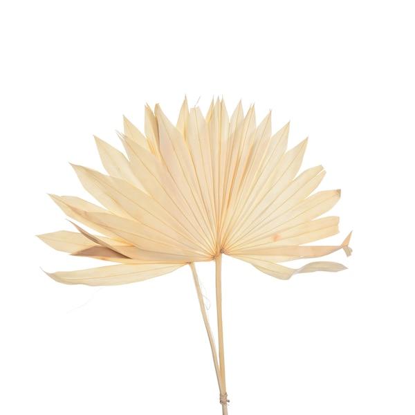 Trockenblume Palmblätter, natur