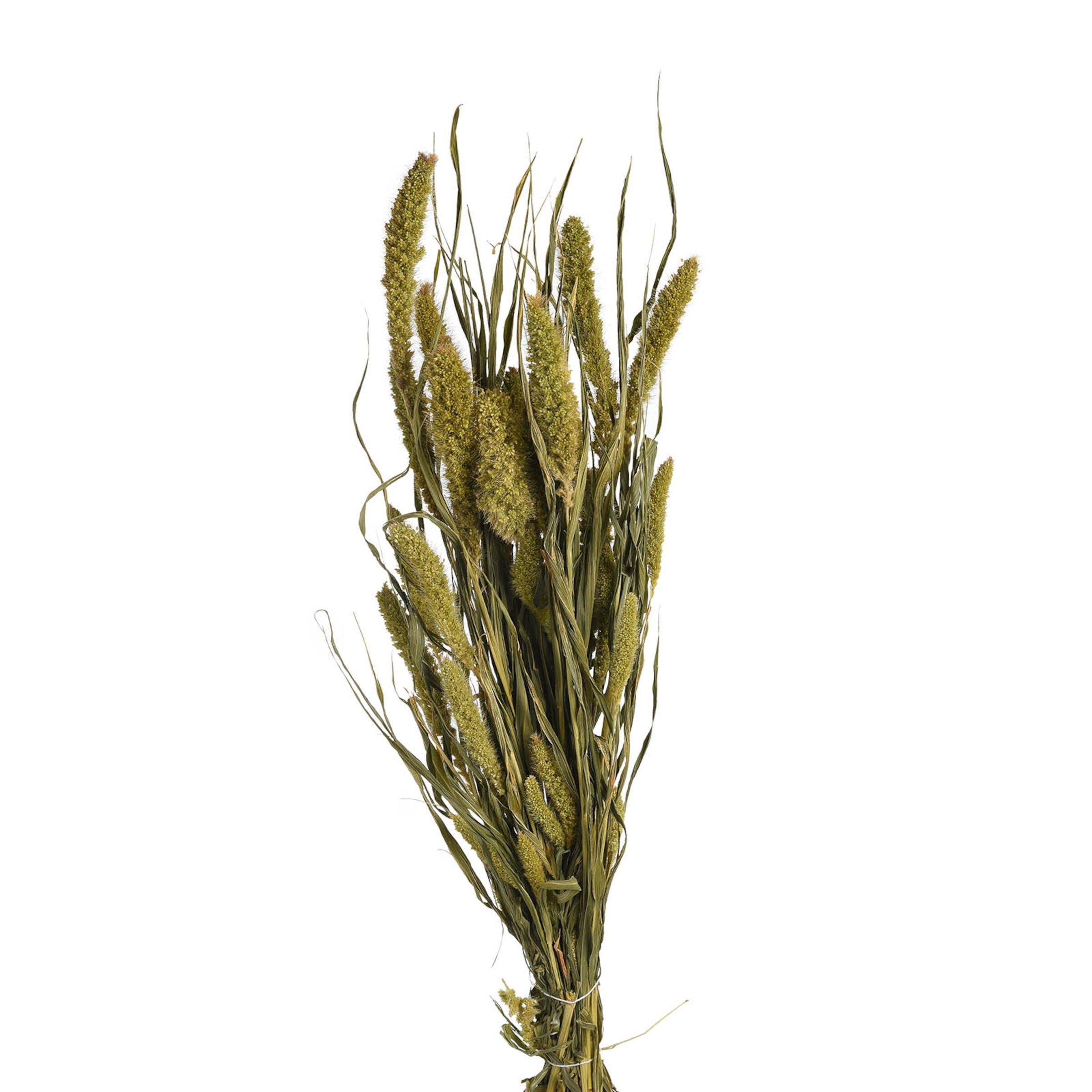 Trockenblume Setarea ca.L60cm 100g, grün