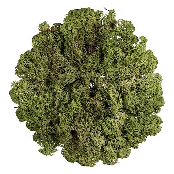 Rentiermoos, grün