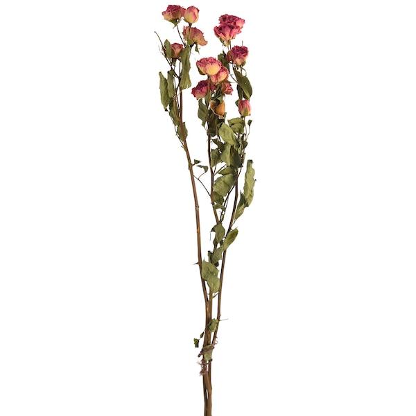 Trockenblume Rose, rosa