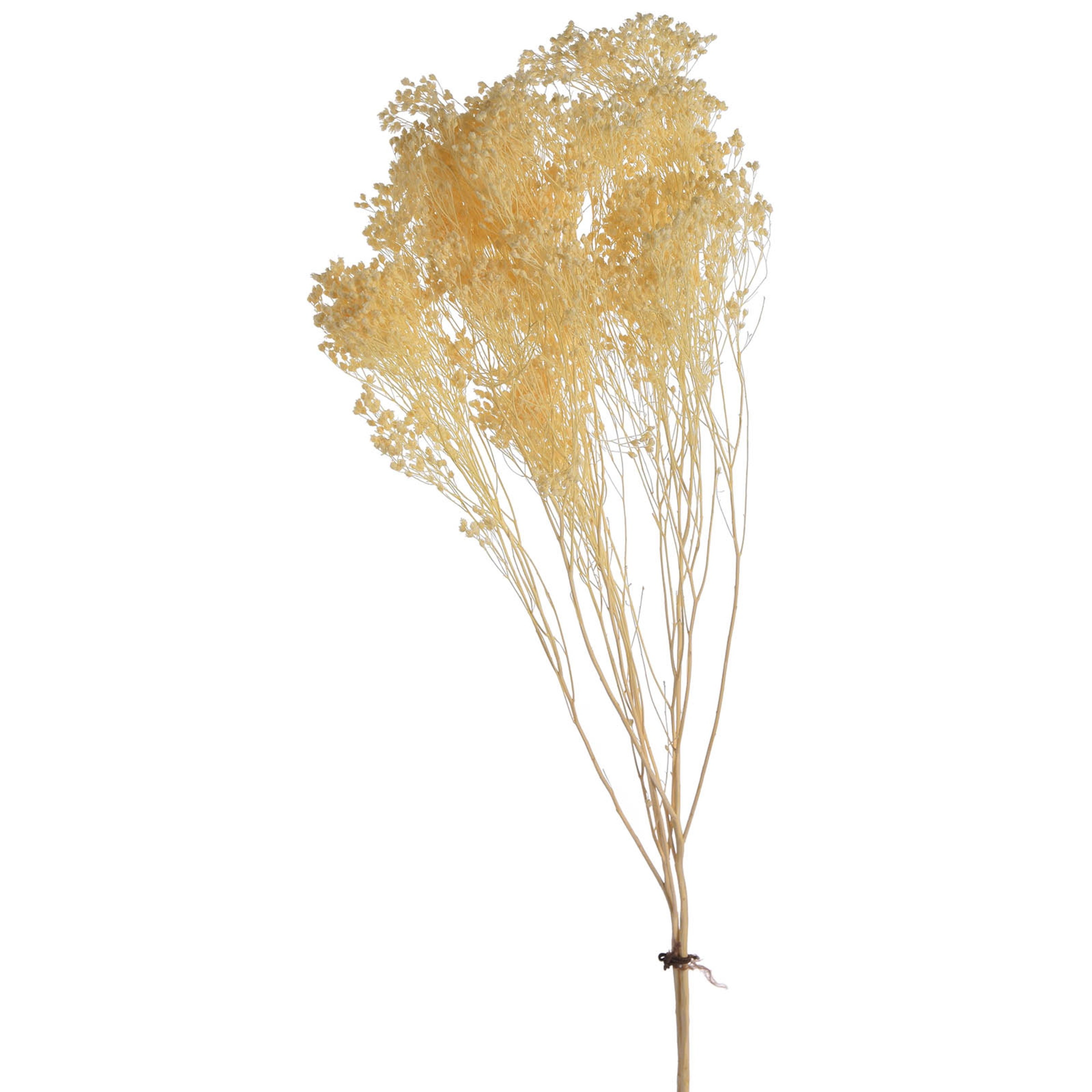 Trockenblume Besenginster 60cm ca, natur