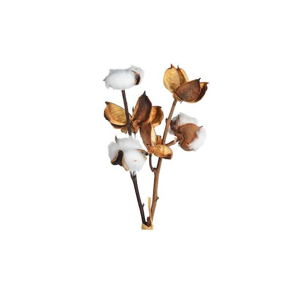Zweig Baumwolle, weiß