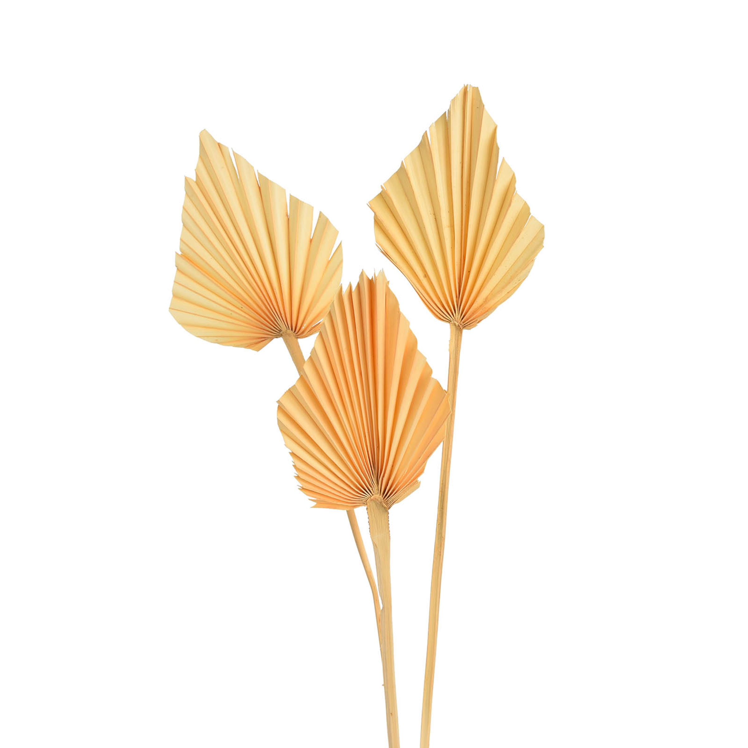 Trockenblume Palmleaf ca.40cm 3St, natur