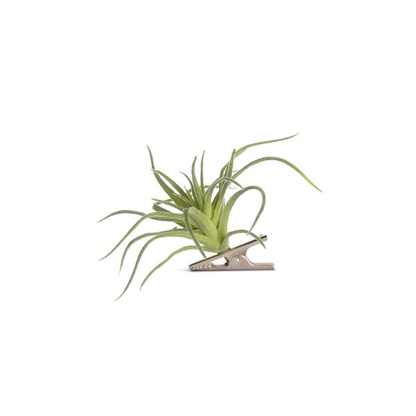 Blumenpick Tillandsie, grün
