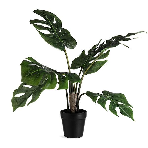 Topfpflanze Monstera, grün