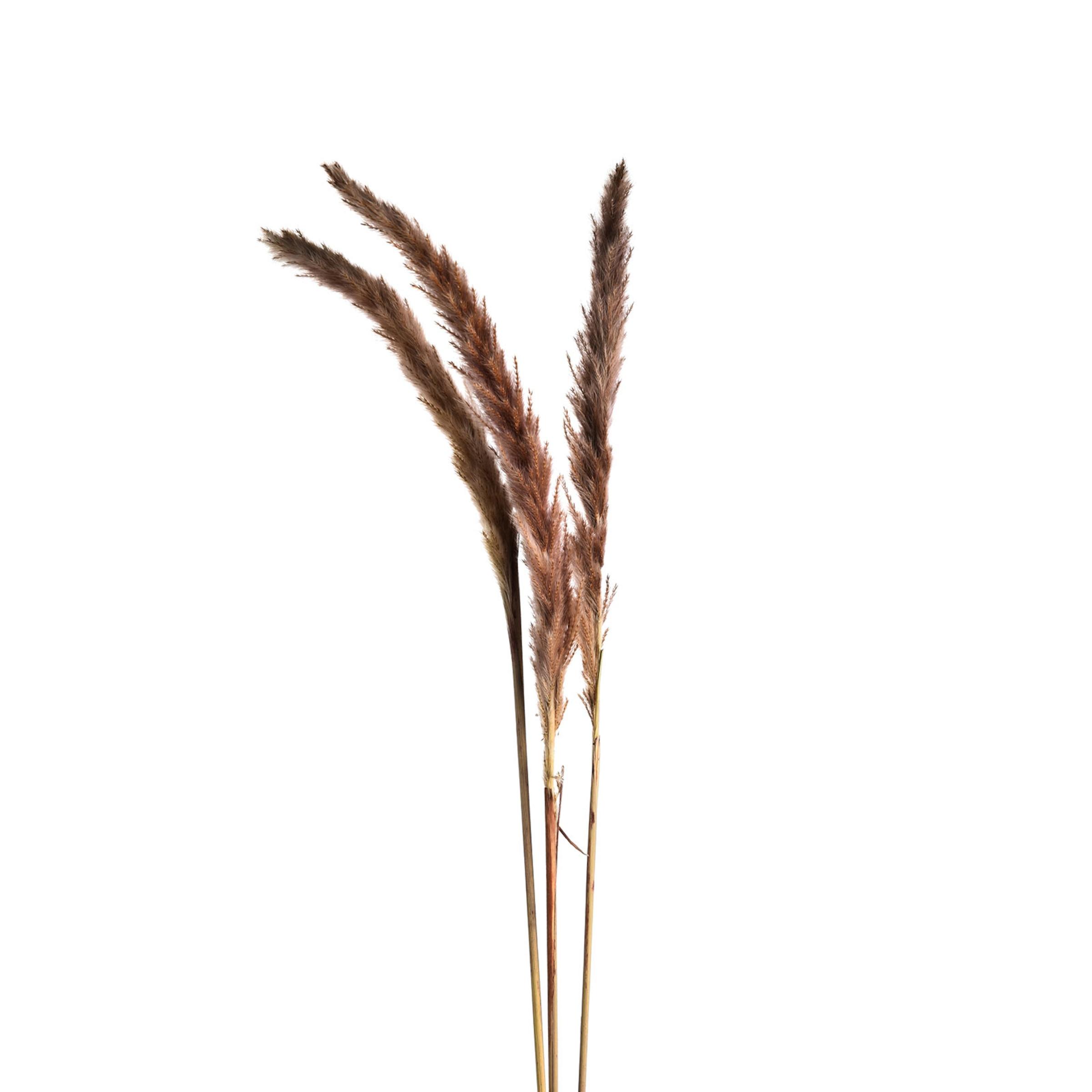 Pampasgras, L:90cm, altrosa
