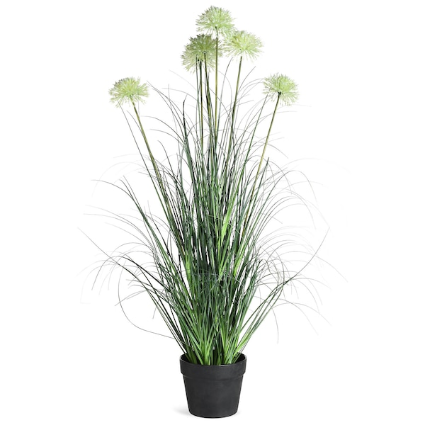 Allium im Topf, grün
